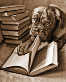 Dog Reading. Book and turning pages (in Sepia Tone Royalty Free Stock Photo