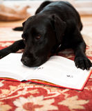 Dog reading Stock Photography