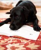 Dog reading. Black labrador dog reading a book Stock Photography