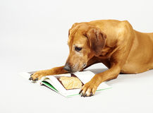 Dog reading book Stock Photography