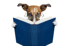 Dog reading a book. A dog reading a blue book novel Royalty Free Stock Photos