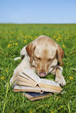 Dog reading book. A yellow labrador reading book in the meadow Stock Images