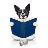 Dog reading  a book. Black terrier dog sitting reading a big book, isolated on white background Stock Images