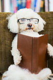 Dog Reading Book Royalty Free Stock Photography