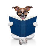 Dog reading  a book. Jack russell dog sitting reading a big book, isolated on white background Royalty Free Stock Image