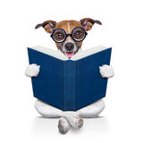 Dog reading  a book. Jack russell dog sitting reading a big book, isolated on white background Stock Photography
