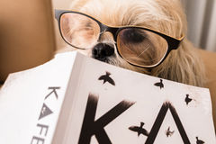 Dog reading book. A dog is wearing glasses reading book Royalty Free Stock Images