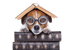 Dog reading books royalty free stock images