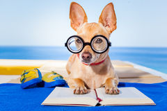 Dog reading. Chihuahua dog reading a book and relaxing under the palm at the beach , enjoying the summer vacation holidays Royalty Free Stock Photo