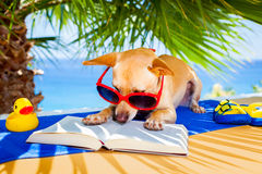 Dog reading. Chihuahua dog reading a book and relaxing under the palm at the beach , enjoying the summer vacation holidays Stock Image