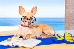 Dog reading. Chihuahua dog reading a book and relaxing under the palm at the beach , enjoying the summer vacation holidays Royalty Free Stock Photos