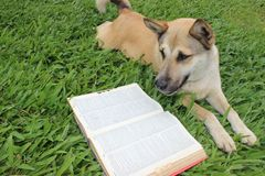 Dog reading a dictionary Stock Photo