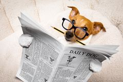 Dog reading newspaper. Cool funny jack russell  dog reading a newspaper magazine wearing reading glasses, with pencil in mouth Stock Photos