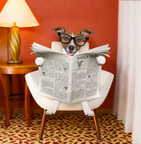 Dog reading newspaper at home Royalty Free Stock Photos