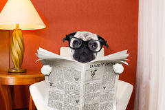 Dog reading newspaper at home Stock Photos
