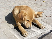 Dog reading newspaper royalty free stock photos