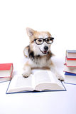 Dog reads book royalty free stock photography