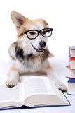 Dog reads book Stock Images