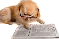 Dog Reads Newspaper. Smart Dog Reading The Newspaper Royalty Free Stock Photography