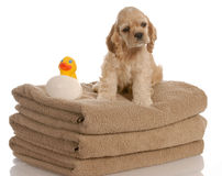 Dog ready for a bath Royalty Free Stock Images