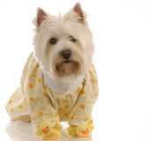 Dog ready for bed Stock Photography