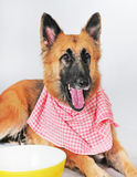 Dog ready for dinner Royalty Free Stock Photography