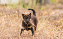 A dog ready for fighting Royalty Free Stock Images