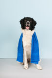 Dog ready for the health club. Dog with towel ready to go to the health club Royalty Free Stock Photos