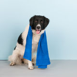 Dog ready for the health club Stock Photography