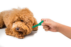 Dog ready for medicine  to control flea, lice and mites. Royalty Free Stock Images