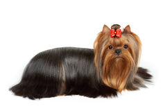 Dog ready for show. One Yorkshire Terrier with red bow perfectly groomed for dog show lies on white isolated background Royalty Free Stock Photo