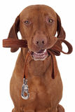 Dog ready to take a walk Royalty Free Stock Images