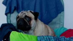 Dog ready for traveling. Pug in the suitcase. Dog ready for traveling. Cute pug in the suitcase stock video footage