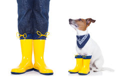 Dog ready for a walk in rain. Jack russell dog sitting , begging and waiting to go for a walk with owner , prepared for rain and dirt, wearing rain boots stock image