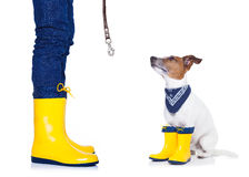 Dog ready for a walk in rain. Jack russell dog sitting , begging and waiting to go for a walk with owner , prepared for rain and dirt, wearing rain boots stock photography