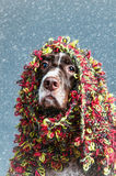Dog ready for winter Stock Image