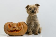 Dog and Real orange halloween pumpkin with carving royalty free stock photos