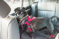 Dog on rear seat of car attached safely with harness and restrai. Black staffordshire bull terrier dog on rear seat of car with leather seats, attached safely royalty free stock photography
