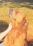 Dog receives affection in the neck with the head raised Royalty Free Stock Photo