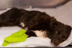Dog receiving iv treatment at the veterinary clinic. Legs bandaged stock photography