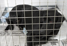 Dog Recovering In Vet's Kennels. Lying in the pens Stock Photos