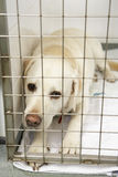Dog Recovering In Vet's Kennels Royalty Free Stock Images