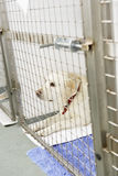Dog Recovering In Vet's Kennels Stock Image