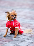 Dog in red Royalty Free Stock Photos
