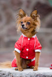 Dog in red Stock Photos