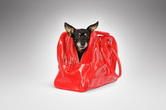Dog in a red bag. On grey background Royalty Free Stock Image