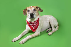 Dog in red Bandanna Stock Photography