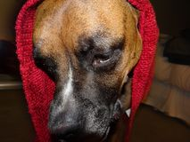 Dog with a red blanket on his  head Stock Images