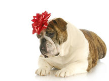 Dog with red bow Royalty Free Stock Images