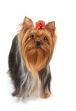 Dog with red bow Royalty Free Stock Photo